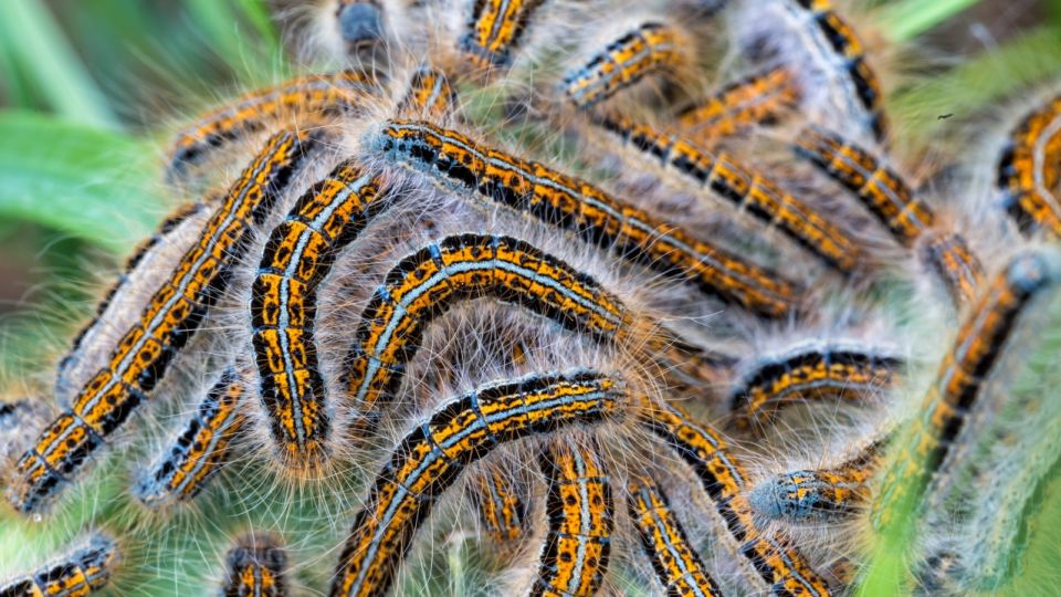 Young caterpillars in the nest (Lymantria dispar)