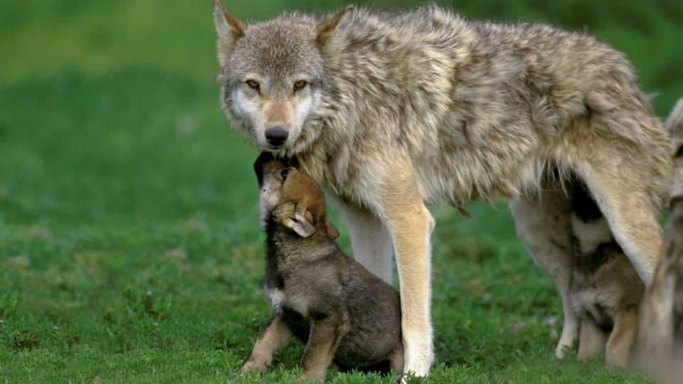 EUROPEAN WOLF canis lupus, FEMALE WITH YOUNGS
