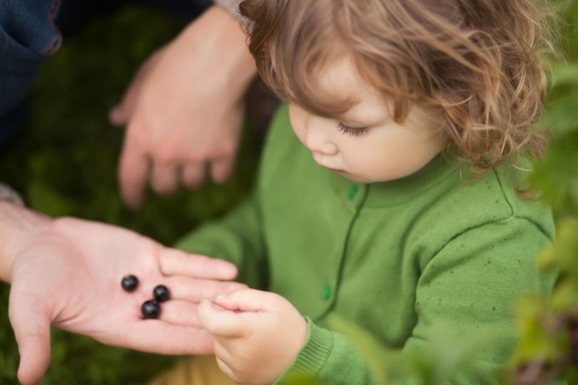 Toddler kid eating black currant outdoors