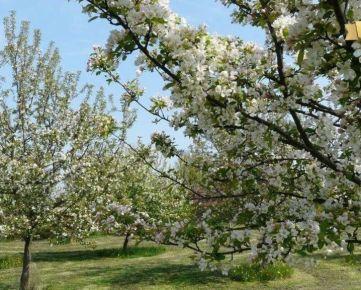 Kúpime pôdu, záhradu, vinohrad v okrese Pezinok.