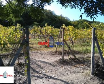 Obrábaný vinohrad 24 árov vo Svätom Jure, lokalita Jelenie,